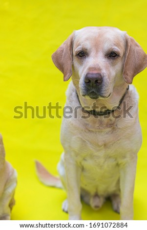 Picture of a yellow Labrador isolated on a yellow backdrop. Happy domestic pet. Photo of a dog.