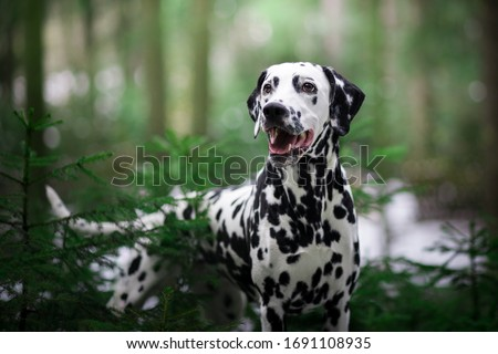 Dog portrait Dalmatian breed in the nature Royalty-Free Stock Photo #1691108935