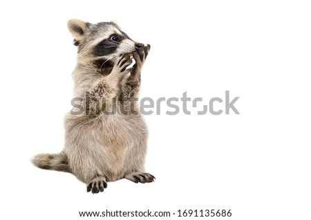 Funny surprised raccoon isolated on a white background Royalty-Free Stock Photo #1691135686