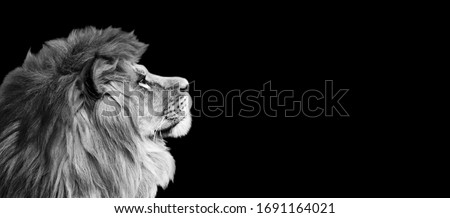African lion profile portrait on black background, spectacular dramatic king of animals, proud dreaming Panthera leo looking forward. Photo banner with copy space toned in black and white colors. #1691164021
