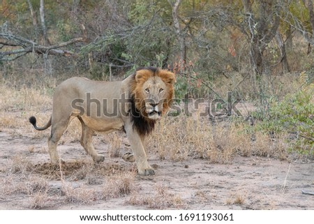 Male lion (Panthera leo) with impressive mane pictured in the African Bush