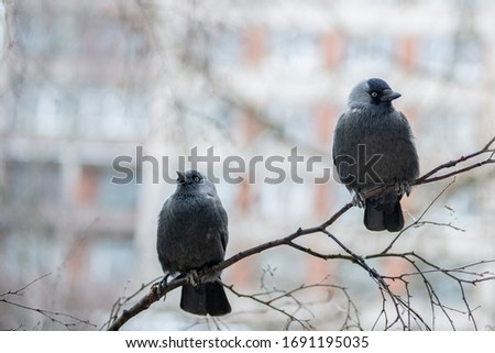 Two western jackdaws (Coloeus monedula) are sitting on the birch branch.  Close-up portrait of two black plumage  birds with blurred  multistory building on the background . Spring in the city. #1691195035