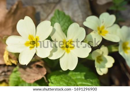 Primrose, Detail of flower of Primula vulgaris. The common primrose or English primrose, European healthy flowering. Herbal medicine #1691296900