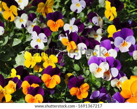 Colorful decoration of blooming flowers of heartsease or Viola or Pansy flowers ; Viola × wittrockiana with blurry background