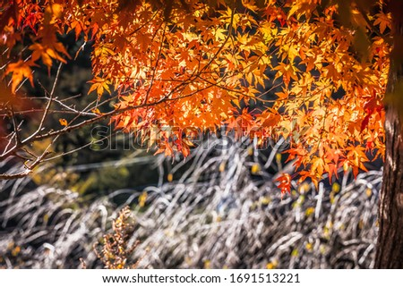 red maple leaf in Japan #1691513221