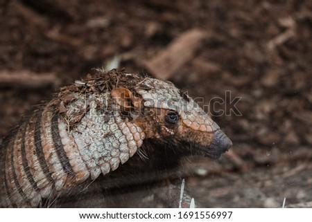 Armadillo close up at the animal park. Brown digger armadillo.