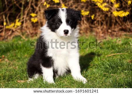 cute border collie puppy waiting for a toy