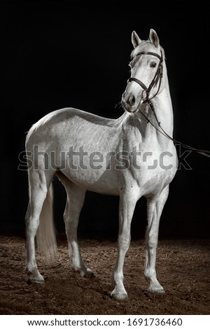 White horse portrait in dressage bridle isolated on dark background #1691736460