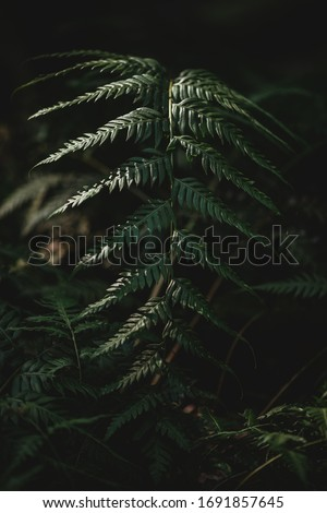 Selective focus of fern leaf isolated in dark background. Natural ferns pattern. Beautiful background made with young green fern leaves. Beautiful ferns leaves green foliage. Natural floral fern. #1691857645