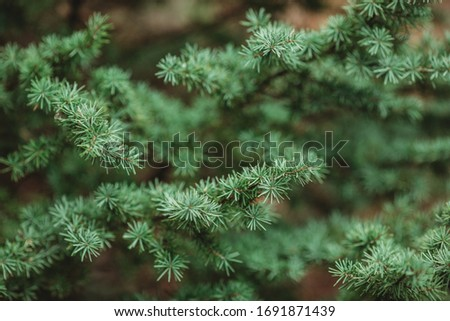 Spruce branch. Beautiful spruce branch with pine needles. Christmas tree in nature. Spruce green. Spruce closeup. Christmas tree in nature.Natural wallpaper. #1691871439