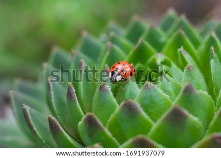 Red ladybug on a green spiky plant Saxifraga. Little ladybirds are covered with dew drops. Summer morning. Cute and beautiful macro for wallpaper or photo picture.