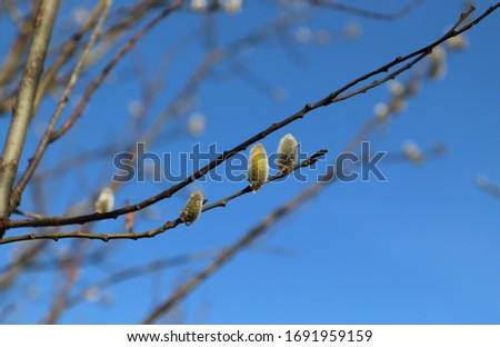 Three flowering male catkins from a goat willow tree (Salix caprea). Flowering branch of pussy willow in the spring forest against the sky #1691959159