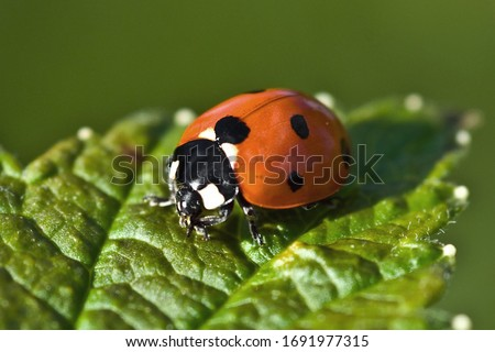 A red ladybug sits on a green leaf on a hot and sunny summer day. Royalty-Free Stock Photo #1691977315