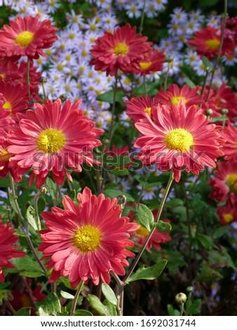 Red Aster flower. Blossom closeup. #1692031744