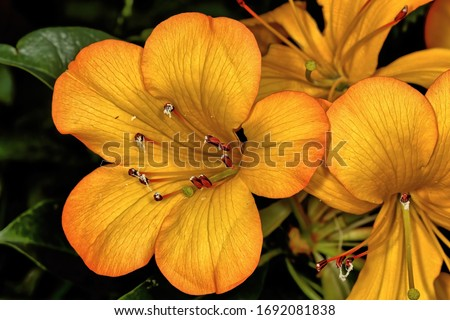 Orange Tropical rhododendron in full bloom. Rhododendron sect. Vireya. #1692081838