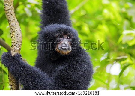 Siamang Gibbon hanging in the trees in Malaysia #169210181