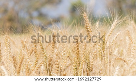 Barley gray blurred background beautiful gardens in the fields #1692127729