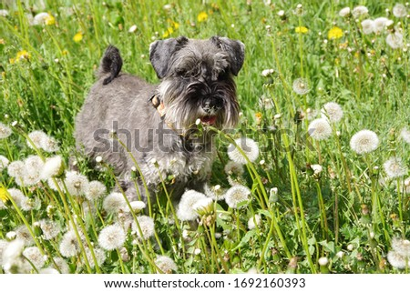 Walk the dogs. Portrait of a gray schnauzer dog posing outdoors in yellow spring flowers. selective focus #1692160393