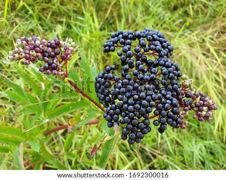 Elderberries or Sambucus berries fresh on the bush close-up. #1692300016