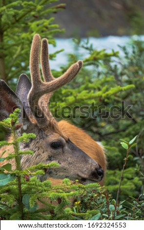 A picture of a face of a wild deer seen around bow falls trail in Banff town