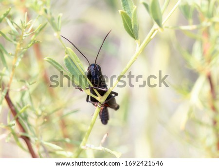 Ebony Grasshopper (Boopedon nubium) Perched on a Stick with Vegetation in Eastern Colorado