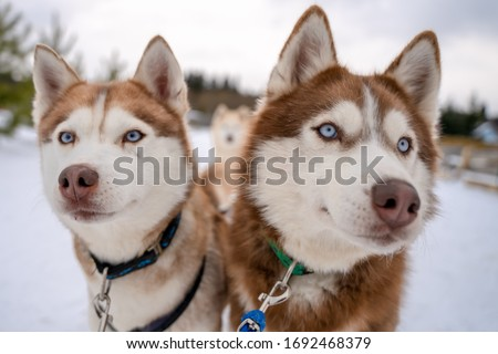 Winter portrait two Siberian husky dogs against the blue sky. Husky dogs sit on snow. Royalty-Free Stock Photo #1692468379