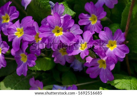 Flower and flowering trees in spring, Bulgaria Royalty-Free Stock Photo #1692516685
