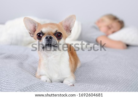 Close-up picture of a laying chihuahua in front of sleeping child