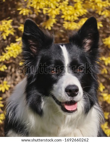 Beautiful picture of Border Collie in the springtime. Female dog smiling because she is a happy dog.