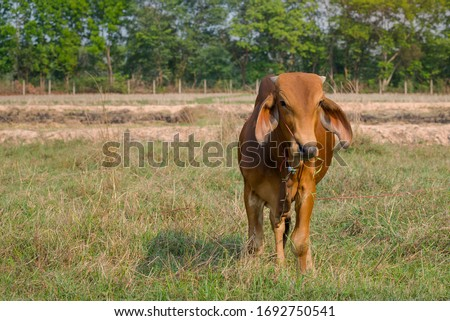 Cows standing in the rice field Thailand. #1692750541