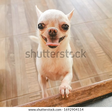 Top view of white short hair chihuahua dog trying  to climb up the bench , smiling with her tongue out to the camera.