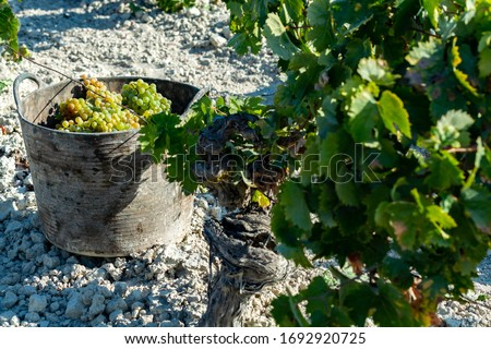 Bucket with new harvest of ripe white grape growing in Andalusia, Spain, sweet pedro ximenez or muscat, or palomino grape ready to harvest, used for production of jerez, sherry sweet and dry wines #1692920725