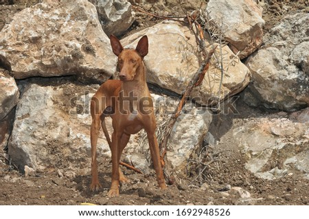 Canarian Podenco warren hound purebred dog in the field Royalty-Free Stock Photo #1692948526