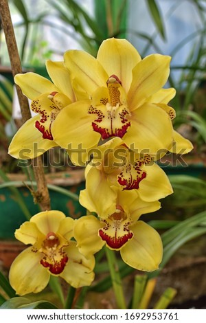 Close up picture of Yellow Cymbidium Orchids (boat orchid) flowers blooming in the greenhouse. Macro. Orchid pattern. Orchid background