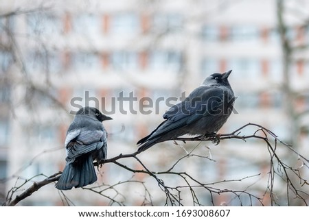 Two western jackdaws (Coloeus monedula) are sitting on the birch branch.  Close-up portrait of two black plumage  birds with blurred  multistory building on the background . Spring in the city. #1693008607