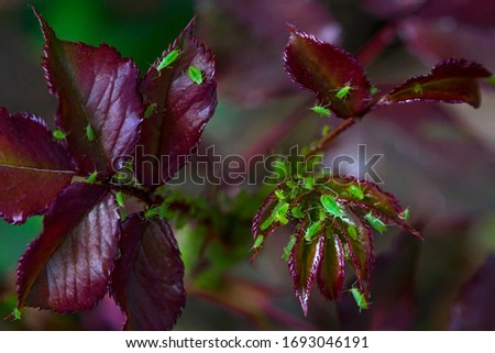 Burgundy rose leaves in spring. Green aphid on the stems and leaves of a rose. Parasites on the leaves. Macro photo. Small details close-up.