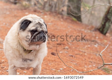 beautiful fawn colored pug in the woods getting picture taken while training with cookies surrounded by nature