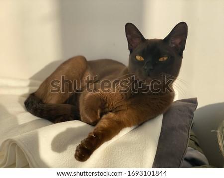 Burmese cat breeds warm sunshine #1693101844