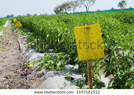 Use of Yellow Sticky trap in Agriculture field. Yellow Sticky traps are designed to attract and capture a variety of insects and pest. Organic farming technique.  Royalty-Free Stock Photo #1693182922