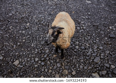 Iceland. young lone ram on black sand #1693224193
