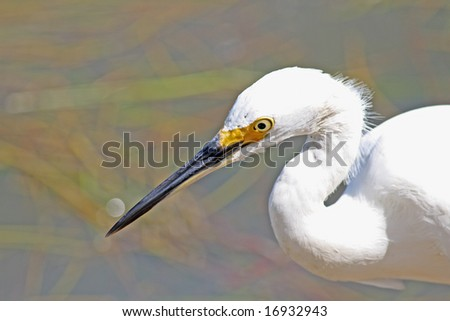 Tight shot of the head and beak of a white egret looking for food along a Florida river #16932943