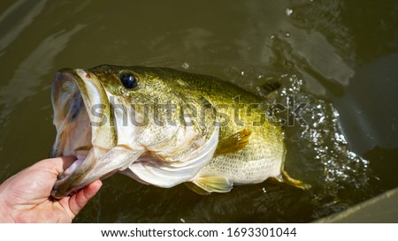 Grabbing a large mouth bass in fresh water.  Royalty-Free Stock Photo #1693301044