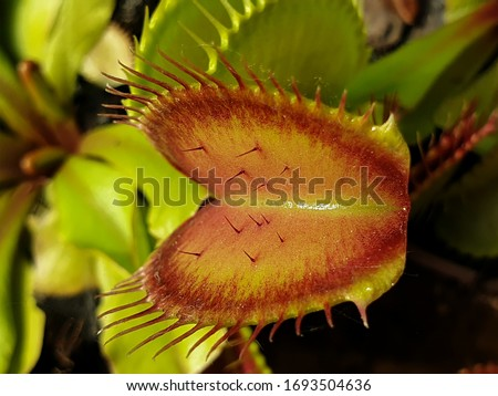 Dionaea Muscipula Typical form. Venus Flytrap fangs, sensory hairs - Predatory plant, Beauty Carnivorous Plant  Royalty-Free Stock Photo #1693504636