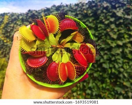 Venus flytrap in a green pot, in a female hand. Dionaea Muscipula - Predatory plant, Carnivorous Plant.  Royalty-Free Stock Photo #1693519081