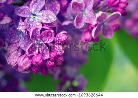 Macro image of spring soft violet lilac flowers, natural seasonal floral background. Can be used as holiday card with copy space.