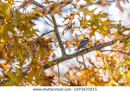 Single black-capped chickadee bird perched on oak tree branch in sunny colorful autumn fall season in Virginia with orange yellow colors #1693631815