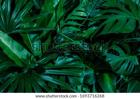 Monstera green leaves or Monstera Deliciosa in dark tones(Monstera, palm, rubber plant, pine, bird's nest fern), background or green leafy tropical pine forest patterns for creative design elements.  #1693716268