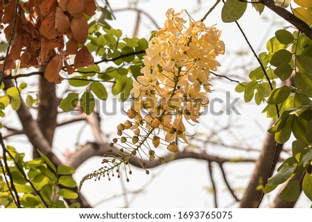 Selective focus beautiful Cassia Fistula flower blooming in a garden.Also called Cassia x nealiae,Golden Shower,Purging Cassia or Indian laburnum. #1693765075