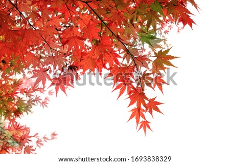 Creative layout made of red maple  isolated on white background, clipping path included.