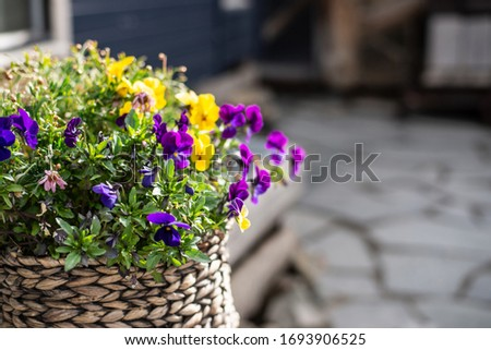 Viola cornuta, horned pansy, tufted pansy. Bunch of dark-lila blooming pansies planted in straw basket standing outdoor Copy space horizontal layout
